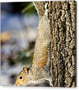 Eastern Gray Squirrel Sciurus Canvas Print