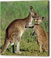 Eastern Grey Kangaroo Macropus Canvas Print
