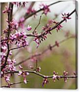 Eastern Redbud Asian Style Canvas Print