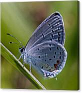 Eastern Tailed-blue Butterfly Din045 Canvas Print