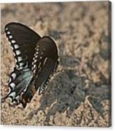 Eastern Tiger Swallowtail 8526 3205 Canvas Print