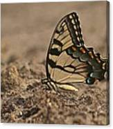 Eastern Tiger Swallowtail 8542 3219 Canvas Print