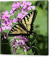 Canadian Tiger Swallowtail On Phlox Canvas Print