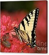 Eastern Yellow Tiger Swallowtail And Azaleas Canvas Print