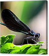 Ebony Jewelwing In The Spotlight Canvas Print