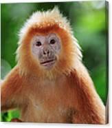 Ebony Leaf Monkey Trachypithecus Canvas Print
