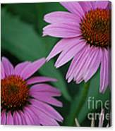 Echinacea Cone Flowers Canvas Print