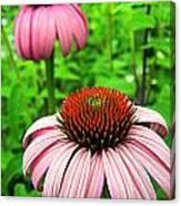 Echinacea Duo Canvas Print