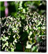 Edge Of Kale Canvas Print