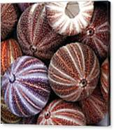 Edible Sea Urchin Souvenirs Canvas Print