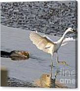Egret Being Chased By Alligator Canvas Print