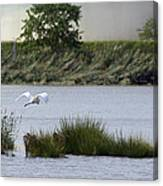 Egret Over Water Canvas Print