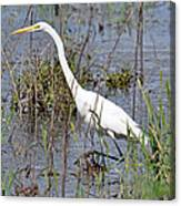 Egret Walking Canvas Print