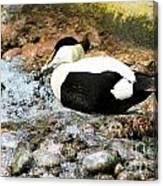 Eider Duck 2 Canvas Print