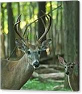 Eight Point And Fawn_9532_4367 Canvas Print