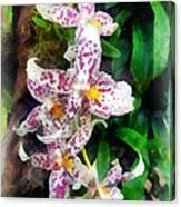 Elegant Beallara Orchid Canvas Print