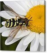 Elegant Hoverfly Canvas Print