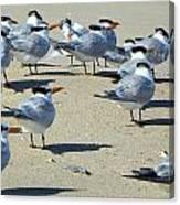Elegant Terns Enjoying The Beach Canvas Print