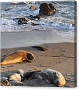 Elephant Seals At Piedras Blancas Canvas Print