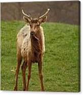 Elk 1 Canvas Print