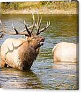 Elk Bugle Estes Lake Colorado Canvas Print