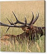 Elk Bugle Canvas Print