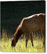 Elk Calf Canvas Print