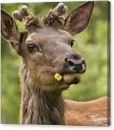 Elk Cervus Canadensis With Dandelion In Canvas Print