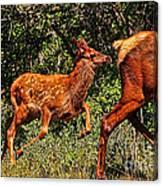 Elk Fawn Canvas Print