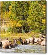 Elk Herd With Autumn Colors Canvas Print