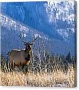 Elk In Forest, Banff National Park Canvas Print