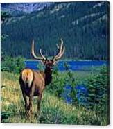 Elk In Summer By Mountain Lake Canvas Print