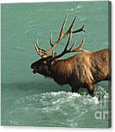 Elk In The Athabasca River Canvas Print