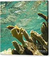 Elkhorn Coral In Sunshine Canvas Print