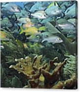 Elkhorn Coral With Schooling Grunts Canvas Print