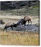 Elks Rutting Canvas Print