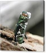 Emerging Ash Borer With Fungus Canvas Print