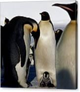 Emperor Penguins Sheltering Chicks Canvas Print