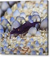 Emporer Shrimp On A Large Pin Cushion Canvas Print