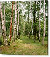 English Woods Silver Birch Trees Canvas Print
