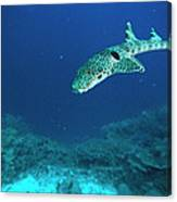 Epaulette Shark Hemiscyllium Ocellatum Canvas Print