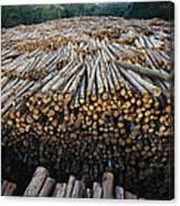 Eucalyptus Stacked Lumber Canvas Print