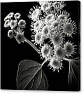 Eupatorium In Black And White Canvas Print