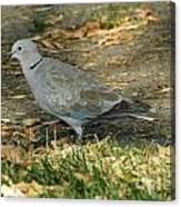Eurasian Dove Canvas Print