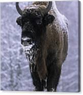 European Bison Bison Bonasus In Snow Canvas Print