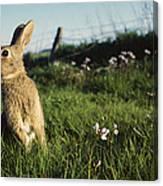 European Rabbit In A Meadow Canvas Print