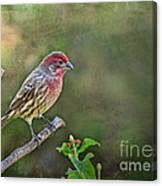 Evening Finch Blank Greeting Card Canvas Print