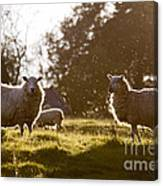 Evening On The Meadow Canvas Print