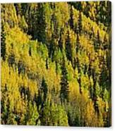 Evergreen And Quaking Aspen Trees Canvas Print