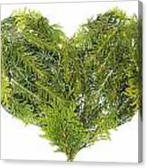 Evergreen  Coniferous Christmas Trees Heart Isolated Canvas Print